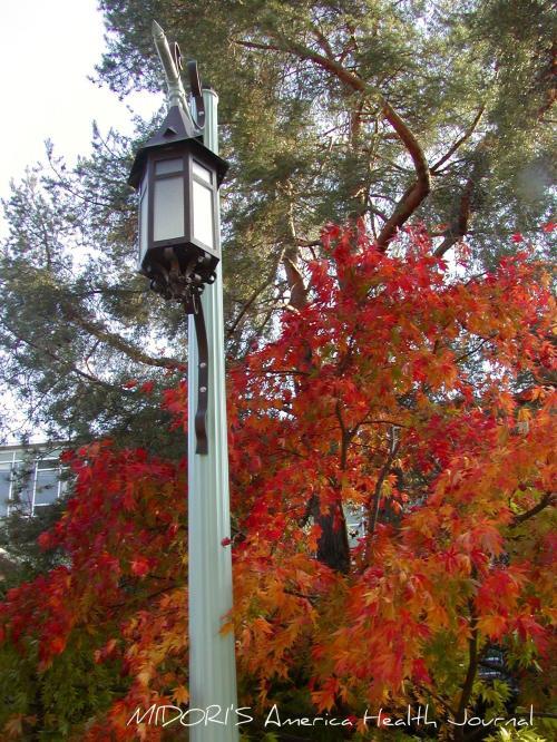 ミシガン州立大学キャンパス もみじ 外灯