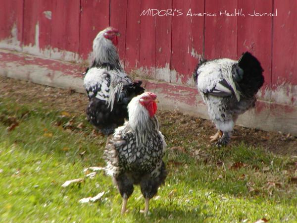 鶏 アメリカン カントリー