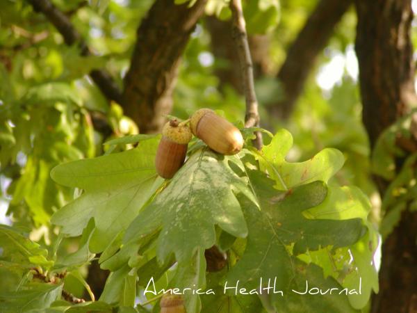 ドングリ acorn