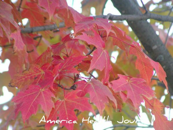 oak leaf オーク 紅葉ナラ(楢)