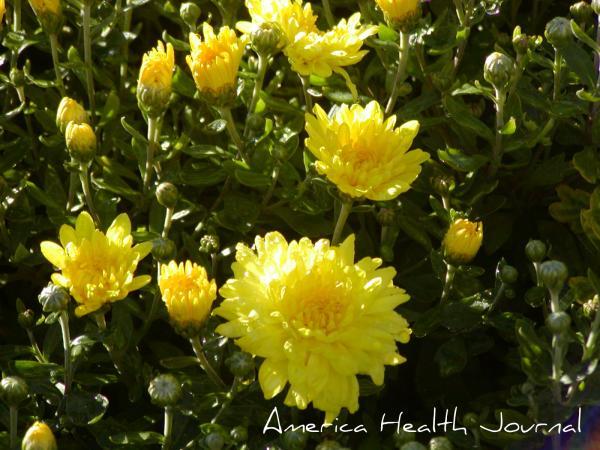 秋の菊 黄色