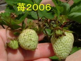 2006_0625ichigo0007.jpg