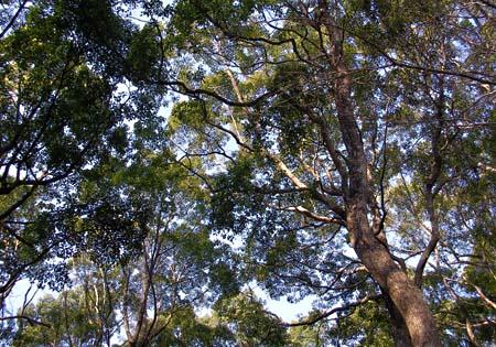 クスノキの群生林