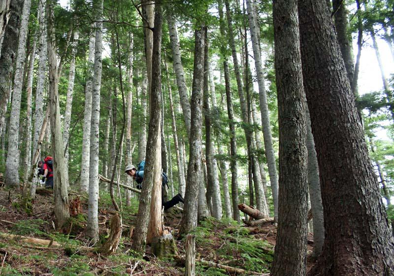 オオシラビソの林の中
