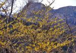 マンサク越に見た経ヶ岳