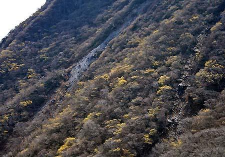 三俣の山肌を彩るマンサク