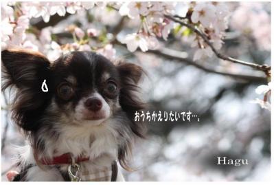 コピー ~ お花見