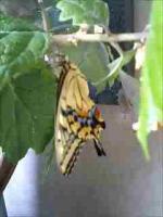 あげは蝶の羽化