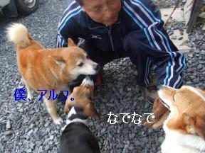 柴犬さん1