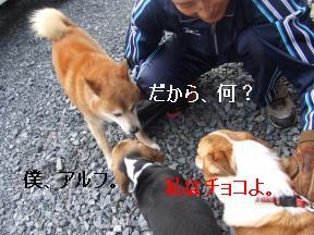柴犬さん3