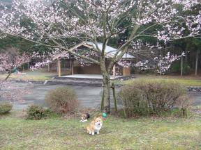 桜2チョコアル