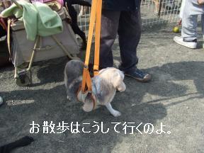 ビーグルちゃんお散歩
