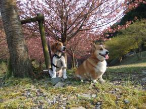 八重桜と2匹1