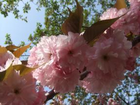 八重桜アップ1