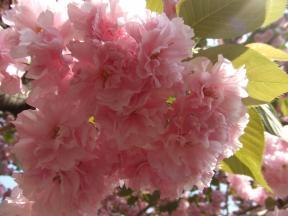 八重桜アップ2
