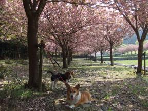八重桜と2匹