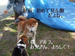 柴犬ちゃん