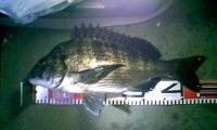 黒鯛46cm