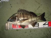 黒鯛38cm