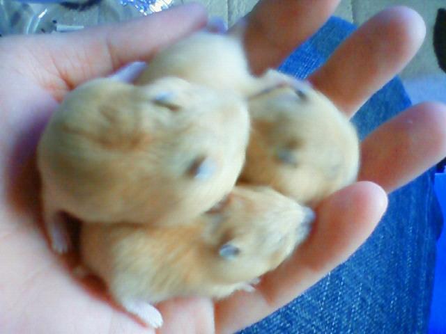 4匹の 子ハム