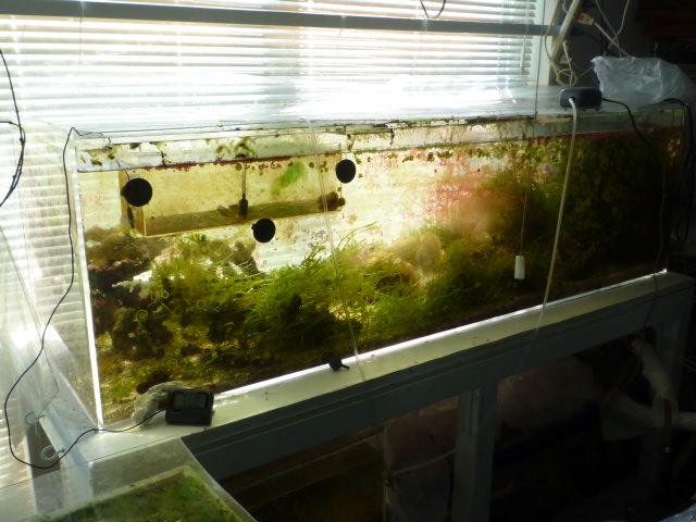 イソギンチャクと クマノミ水槽。