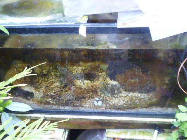 ハナグロチョウ水槽