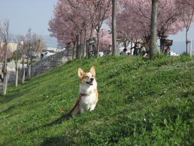 2011桜とハナ