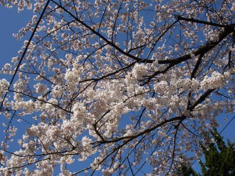 お城の桜も満開です