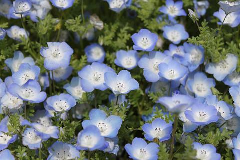 青い花アップ
