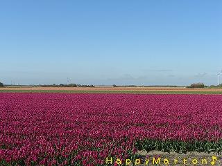 チューリップ畑4