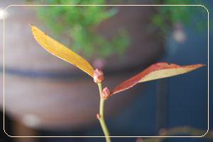 ブルーベリーの花目