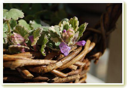 グレコマの花