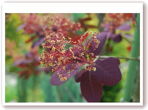 スモークツリー 花