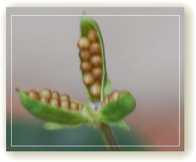 ラブラドリカの種