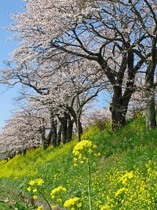 2010.4.喜連川桜堤 (2)