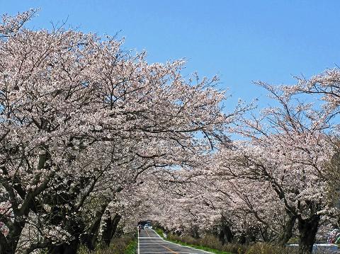 2010.4.喜連川桜堤