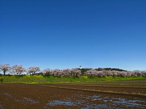 2010.4.喜連川桜堤 (1)