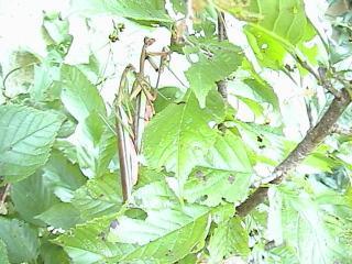 カマキリ2008年9月14日1