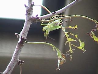 カマキリ2008年9月20日3