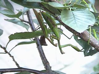 カマキリ2008年9月24日1
