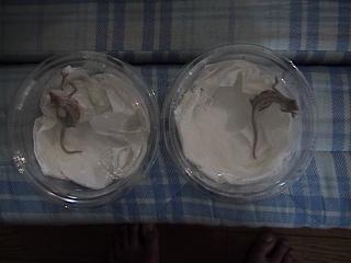 ツーストライプカメレオン2008年8月31日1
