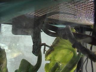 ツーストライプカメレオン2008年9月2日1