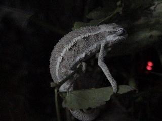 ツーストライプカメレオン2008年9月2日2