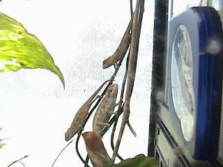ツーストライプカメレオン2008年9月3日2