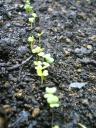 チンゲン菜の芽