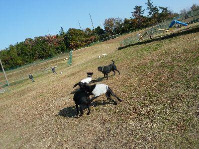 遊ぶ黒4頭