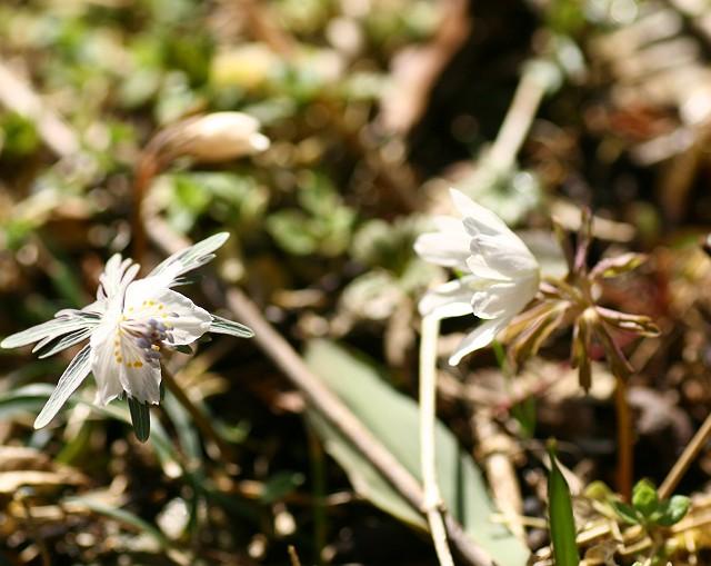 節分草とアズマイチゲ