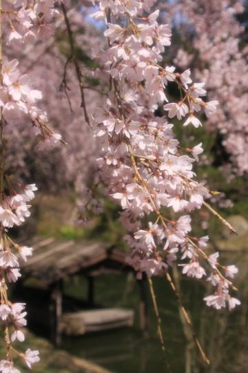 曹源寺 枝垂桜