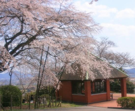 半田山枝垂桜
