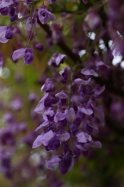 藤の花0589-s